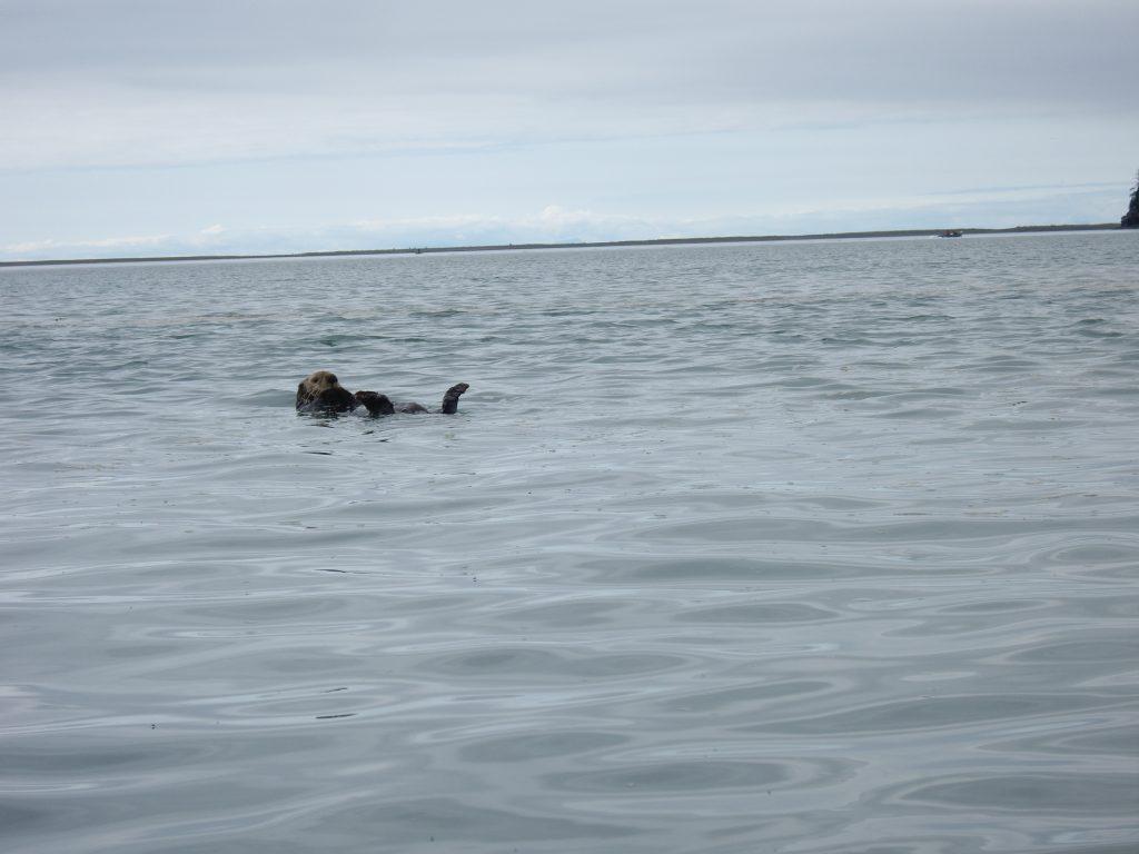 Sea otter - Nutria