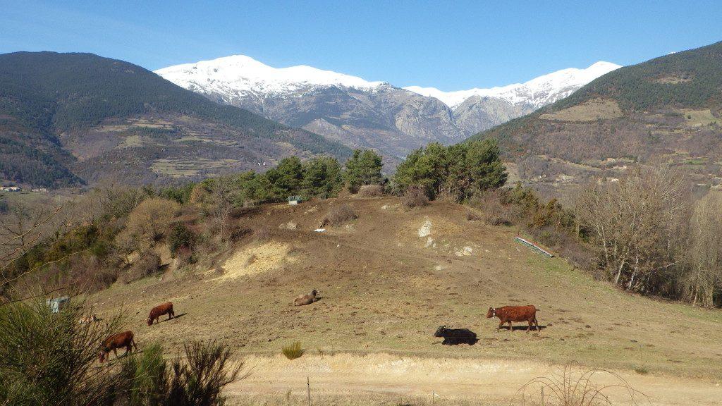 Vacas en el Taga